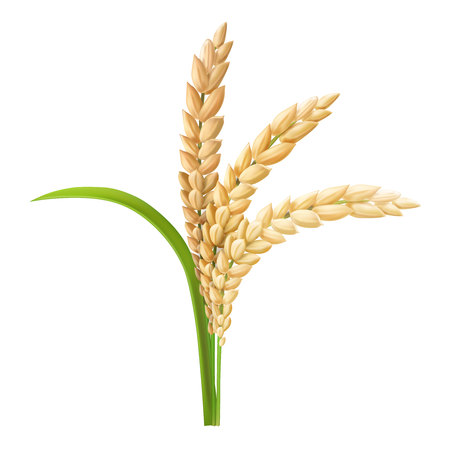 Illustration vectorielle réaliste de riz oreille