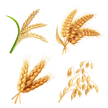 Agricultural crops set Rice, oats, wheat, barley vector realistic illustration Illustration