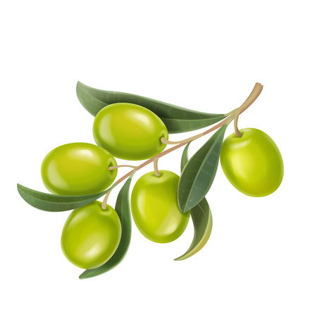 Vector realistic illustration of green olives branch isolated on white background. Design for olive oil. Illusztráció