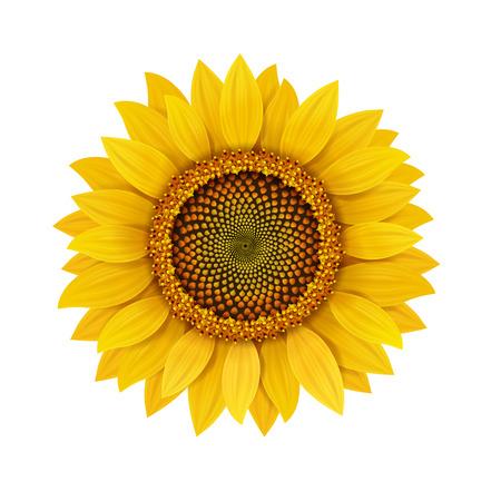 Sunflower realistic isolated, vector illustration.  イラスト・ベクター素材