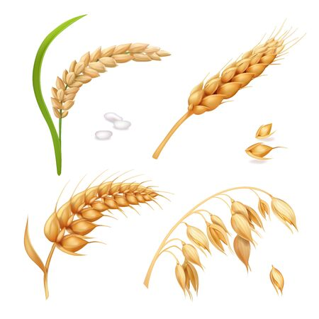 Wheat, barley, rice and oats on white