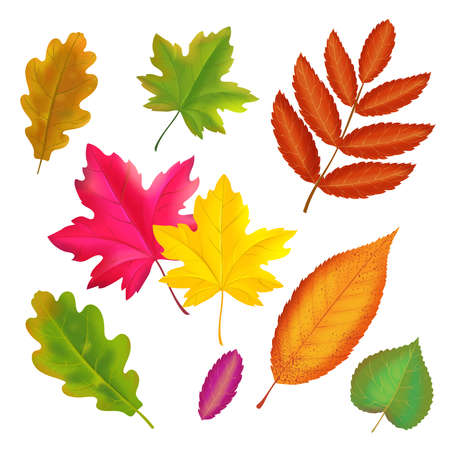Set of colorful autumn leaves. Vector realistic fall leaf collection. Maple, oak, rowan yellow and red leaves illustration