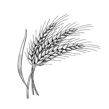 Wheatears with leaves hand drawn vector illustration, Three spikelets of rye, barley. Sheaf of grain. Cereal crop symbol, grain culture icon, Bakery food sketch icon