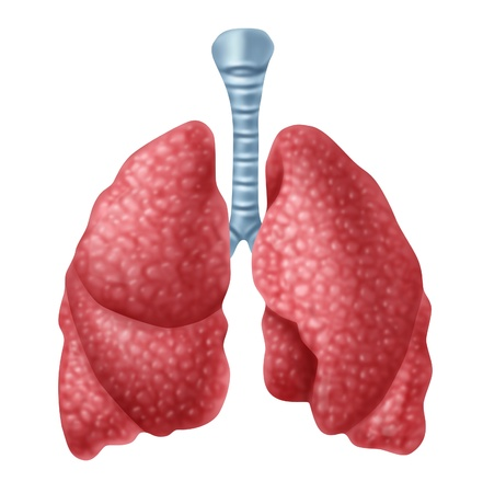 bronchioles: Human lungs organ isolated on white background representing the medical respiratory system to provide oxygen to the body.