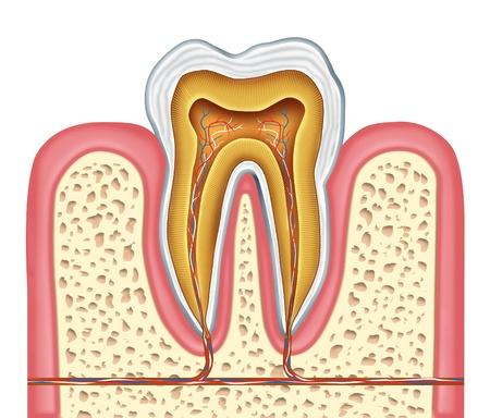 dientes con caries: Anatomía de un diagrama de diente sano humanos como cirujano dentista dientes símbolo de la clínica dental y especialista en medicina oral, que representan a la odontología y la cirugía de la boca de una enfermedad caries cavidad en una vista frontal blanco de un diente molar.