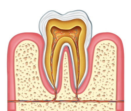 tooth root: Anatomy of a healthy human tooth diagram as a dentist surgeon teeth symbol for dental clinic and oral specialist representing dentistry medicine and mouth surgery for a cavity decay illness on a frontal view white single molar tooth.