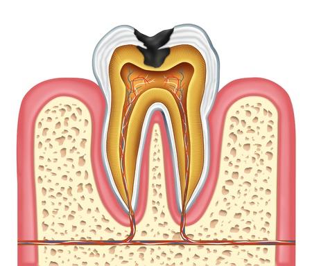 Зуб внутренняя схема анатомии