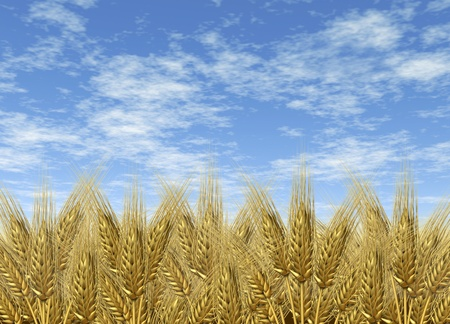 goods: Wheat harvest on a golden horizon and blue sky of harvesting grass crop as a symbol of healthy whole food for farm baked and fresh organic bakery goods as bread and cerial grains. Stock Photo