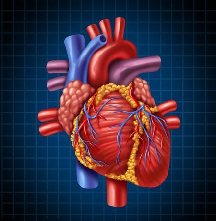 Menselijk hart anatomie van een gezond lichaam op een blauwe en zwarte grafiek achtergrond als een medische gezondheidszorg symbool van een innerlijke cardiovasculaire orgel.