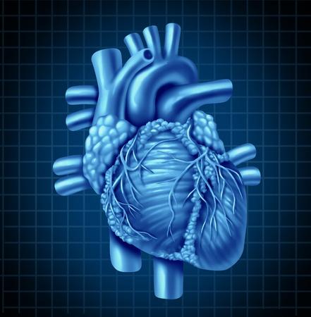 Menselijk hart anatomie van een gezond lichaam op een blauwe en zwarte grafiek achtergrond als een medische gezondheidszorg symbool van een innerlijke hart-orgel.