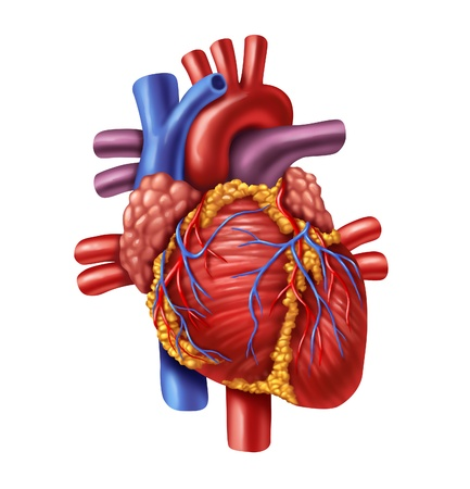 heart attack: Human heart anatomy from a healthy body isolated on white background as a medical health care symbol of an inner cardiovascular organ. Stock Photo