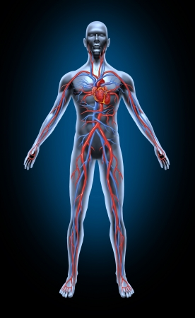 blood circulation: Human blood circulation in the cardiovascular System with heart anatomy from a healthy body isolated on black background as a medical health care symbol of an inner vascular organ as a medical chart for health education. Stock Photo