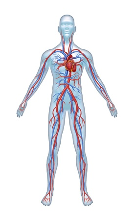 human anatomy: Human Cardiovascular heart system with heart anatomy from a healthy body isolated on white background as a medical health care symbol of an inner vascular organ as a medical chart.