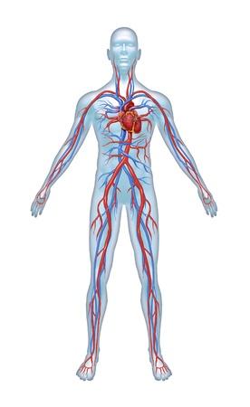 corpo umano: Il sistema umano cuore con l'anatomia cardiovascolare cuore da un corpo sano isolato su sfondo bianco come simbolo di assistenza medica di salute di un organo interno vascolare come una cartella clinica.