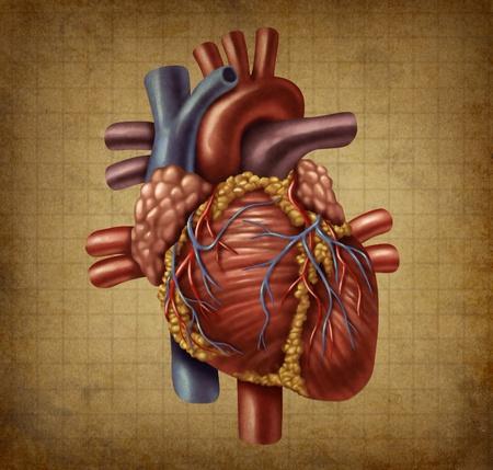 ataque al corazón: Corazón humano en una textura vintage grunge antiguo documento médico como un gráfico de cosecha para la circulación sanguínea y la función del órgano interno, como un concepto de salud y medicina para el tratamiento cardiovascular de diagnóstico.