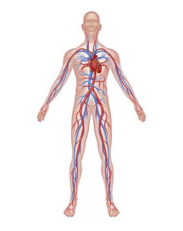organos internos: Anatom�a de la circulaci�n del coraz�n humano y el sistema cardiovascular con un cuerpo sano