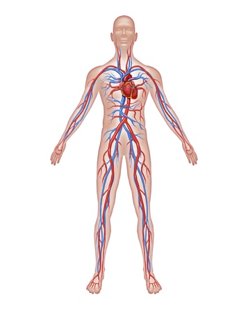Human circulation anatomy and cardiovascular heart system with a healthy body