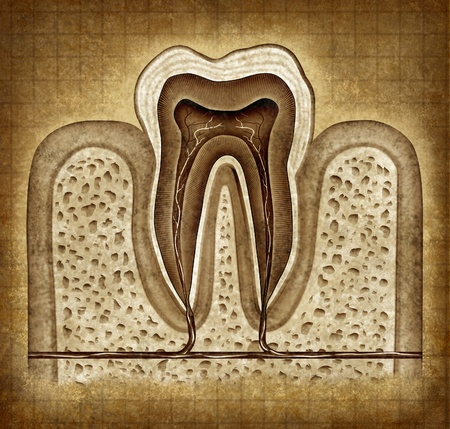 lower teeth: Tooth inner anatomy old grunge parchment diagram