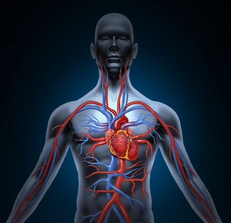 corpo umano: Circolazione del sistema cardiovascolare umano con l'anatomia cuore da un corpo sano isolato su sfondo bianco come simbolo di assistenza medica di salute di un organo interno vascolare come una cartella clinica.
