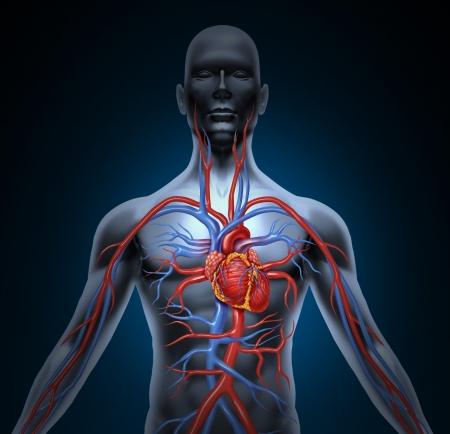 enfermedades del corazon: Sistema de circulación cardiovascular humano con la anatomía del corazón de un cuerpo sano aislados sobre fondo blanco como símbolo de salud la atención médica de un órgano interno vascular como un historial médico. Foto de archivo