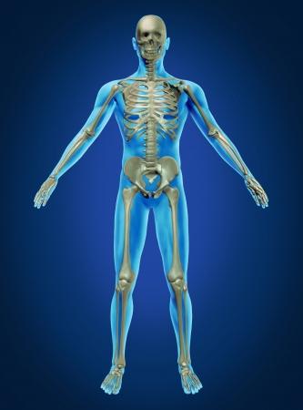 esqueleto humano: El cuerpo humano y el esqueleto con la anatom�a del esqueleto en un descansado plantean sobre un fondo azul oscuro como el cuidado de la salud y el concepto m�dico.
