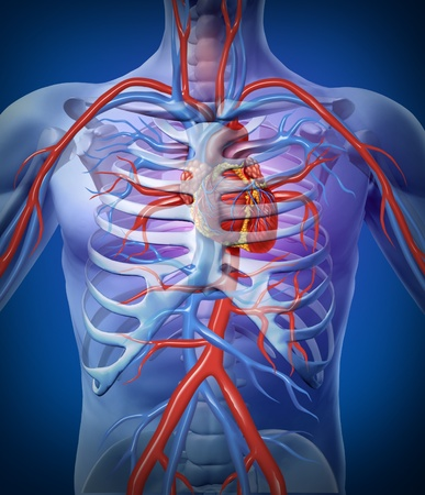 corpo umano: Cardiocircolatorio umano In un sistema con l'anatomia cardiovascolare scheletro cuore da un corpo sano su uno sfondo nero brillante come simbolo di assistenza medica di salute di un organo interno vascolare come un diagramma medico.