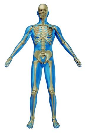esqueleto humano: Esqueleto humano y el cuerpo con la anatom�a del esqueleto en un descansado plantean sobre un fondo blanco como un cuidado de la salud y el concepto m�dico.