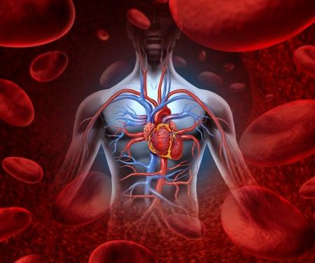 heart disease: El corazón humano sistema de la circulación cardiovascular con la anatomía de un cuerpo sano en un fondo con las células de la sangre como símbolo de salud la atención médica de un órgano vascular interno como un concepto de salud la atención médica