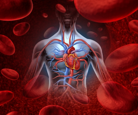 body blood: Human heart circulation cardiovascular system with anatomy from a healthy body on a background with blood cells as a medical health care symbol of an inner vascular organ as a medical health care concept
