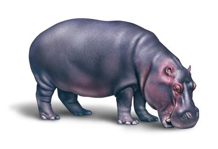 hippopotamus: Hipopótamo o hipopótamos en un fondo blanco con unas enormes mamíferos acuáticos grasa como un símbolo de la safari en África y el desierto o un animal de zoológico Foto de archivo