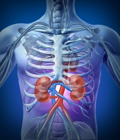 Los riñones humanos y la circulación con un diagrama de esqueleto de médicos en un brillante fondo negro con las arterias de rojo y azul como la atención médica y la ilustración hrealth de la anatomía interior del sistema urinario Foto de archivo