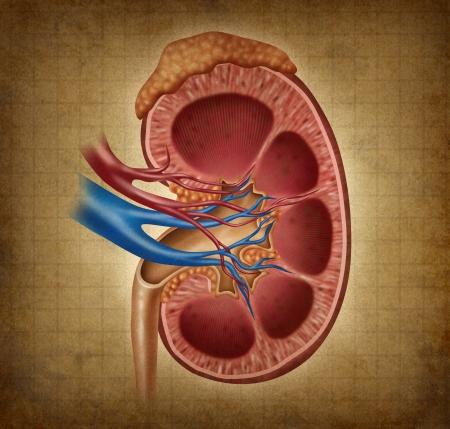 medicina ilustracion: Ri��n humano en una textura grunge como un diagrama m�dica con una secci�n transversal del �rgano interior y gl�ndula suprarrenal como un cuidado de la salud y la ilustraci�n m�dica de la anatom�a del sistema urinario