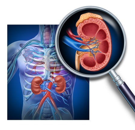 dialysis: Human kidney magnification from a body as a medical diagram with a cross section of the inner organ with red and blue arteries and adrenal gland as a health care illustration of the anatomy of the urinary system