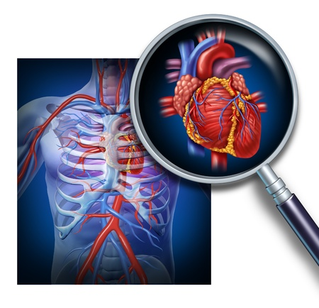 magnification: Anatomy of the human heart as a focus and magnification of the circulation and cardiovascular system from a healthy body as a medical health care symbol of an inner vascular organ as a medical diagram  Stock Photo