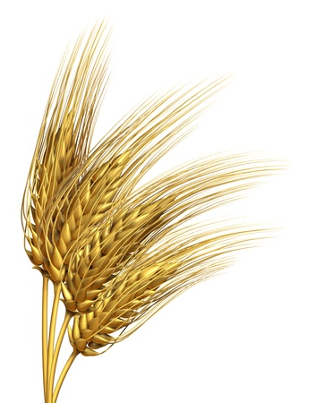 Wheat or barley harvested crop design element isolated on a white background as an agriculture farming symbol of pure whole and healthy food for baking goods and organic flour Stock Photo - 14118894