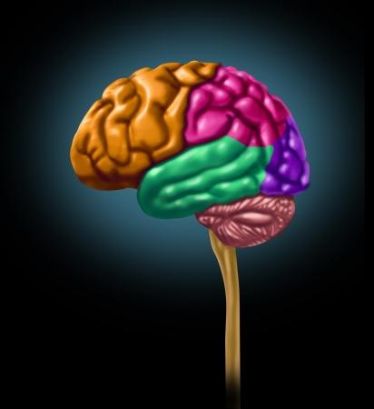 cerebro blanco y negro: Brain secciones del l�bulo de las divisiones mentales l�bulos neurol�gica multiactividad pensamiento color aislado
