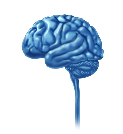 frontal view: Brain lobe sections divisions of mental neurological lobes activity isolated on a white background  Stock Photo
