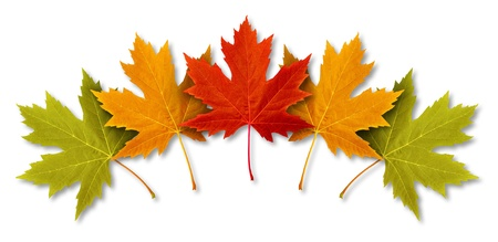 Autumn Leaves with five maple leaf foliage arranged in a multi colored seasonal themed concept as a symbol of the fall weather on a white background  Stock Photo