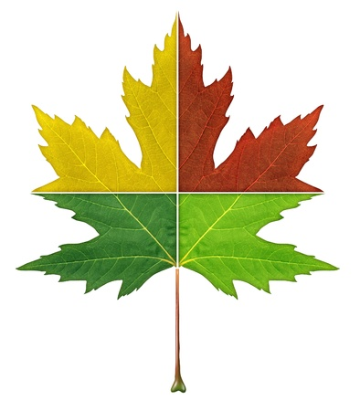 Four seasons leaf concept with the foliage cut in four pieces with red yellow gree colors representing thhe natural aging process of summer fall winter spring season on an isolated white background