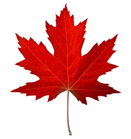 canadian icon: Red maple leaf as an autumn symbol as a seasonal themed concept as an icon of the fall weather on an isolated white background  Stock Photo