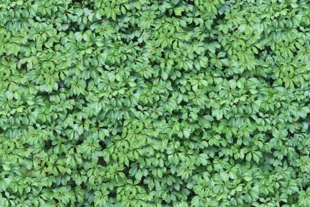 пышной листвой: Зеленый плющ стены текстуры с пышной листвой растет и крепится на вертикальную структуру здания в качестве элемента дизайна представляющих природу и envirinment