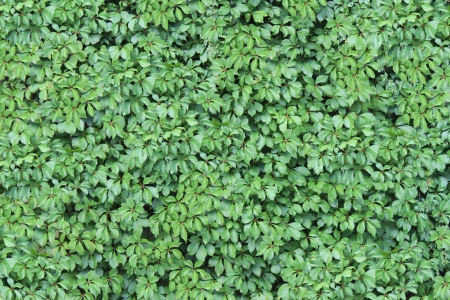 Green Ivy Wall Texture with lush foliage growing and attached on a vertical building structure as a design element representing nature and the envirinment Stock Photo - 15206251
