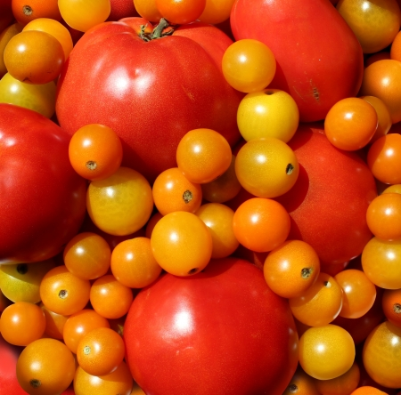 Tomato wallpaper with a heap of juicy natural mixed red and golden organic tomatoes representing the concept of eating delicious healthy food of fresh fruits and vegetables  Stock Photo - 15206270