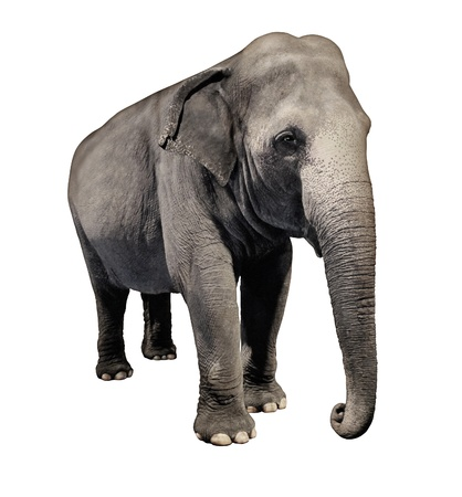 Elephant animal isolated on a white background in a three quarter view as an icon of wisdom and intelligence with a huge african wilderness pachyderm symbol of nature and conservation from Africa or Asia  photo