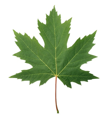 Green Maple Leaf as an autumn or spring and summer seasonal themed nature concept as an icon of the fall weather on an isolated white background Stock Photo - 15491675