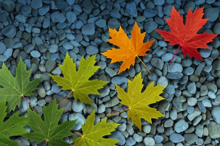 brook: Autumn leaves floating over a stream or brook of smooth river rocks as a seasonal themed concept of change and aging and as a background of the fall weather