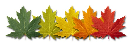 Autumn border element Leaves with five maple leaf foliage  Stok Fotoğraf