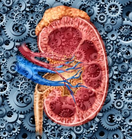 Riñón humano concepto función médica con una sección transversal del órgano interno con arterias rojo y azul y la glándula suprarrenal con engranajes y dientes como una ilustración cuidado de la salud de la anatomía del sistema urinario Foto de archivo