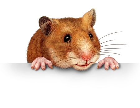 Cute hamster smiling and happy holding a blank white billboard comunications card with pink hairy paws andrealistic detailed fur on a white backround  Stock Photo - 15584413