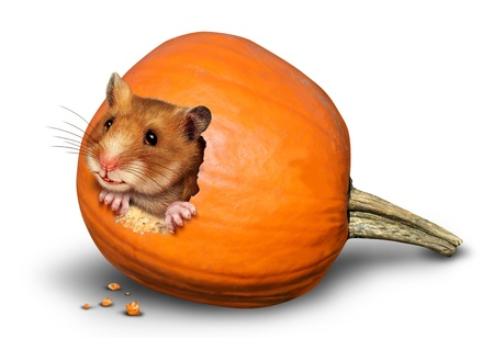 Thanksgiving harvest symbol with a fun mouse like rodent or pet hamster inside a hole of an eaten pumpkin on a white background as a concept of giving thanks for the abundance of fresh produce and autumn crops  photo